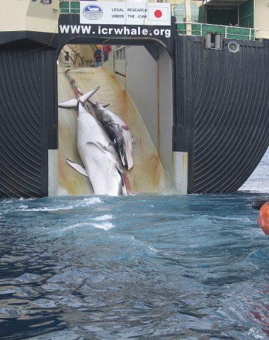 Le Japon reprend la chasse à la baleine