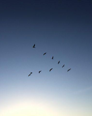 Airbus veut s'inspirer des oiseaux migrateurs pour économiser du carburant