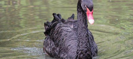 Cygne noir : ce drôle d'oiseau qui menace l'économie mondiale